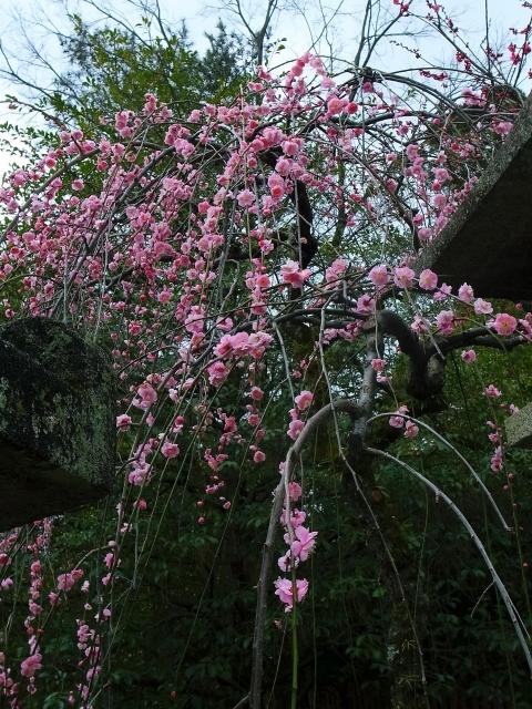 京都観光冬のおすすめ 1月と2月の楽しみ方と服装 梅の見頃は?