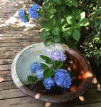 鎌倉であじさい観賞 明月院と長谷寺の紫陽花の特徴 どっちに行く?