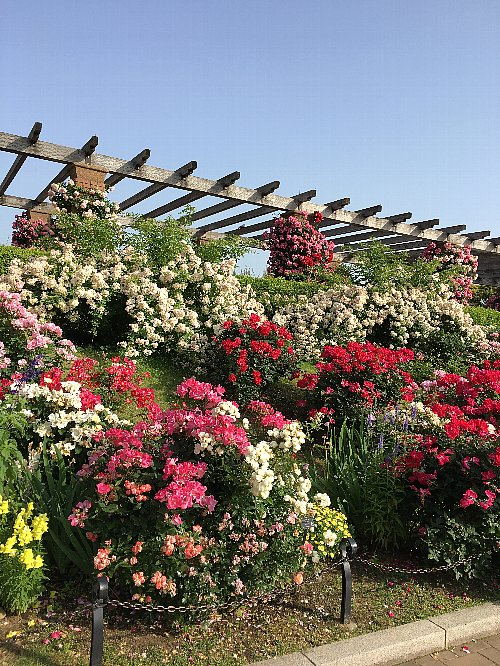 横浜山下公園の春のバラ
