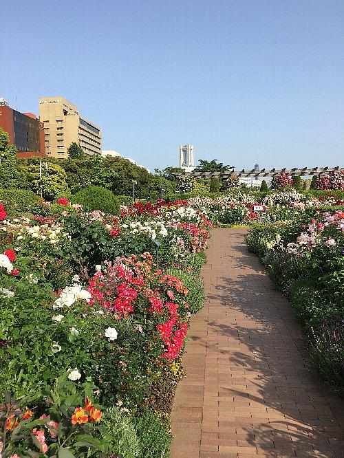 横浜山下公園の5月のバラ