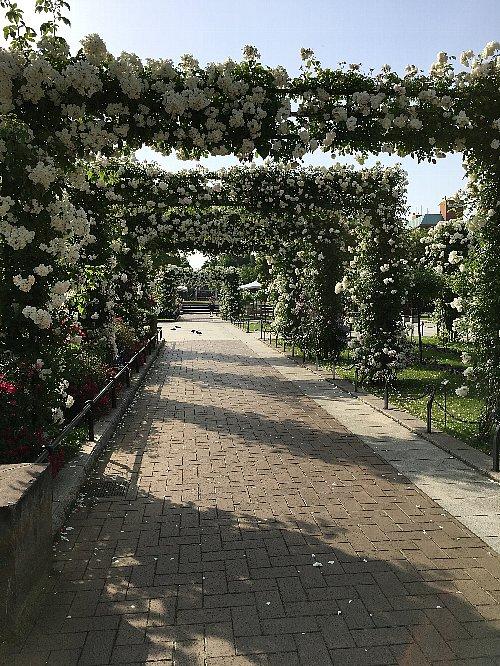 横浜山下公園の白いバラ